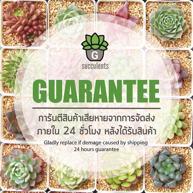 【COD】j♤☂☈New Succulents Set G กุหลาบหินนำเข้า ไม้อวบน้ำ Imported Live plant