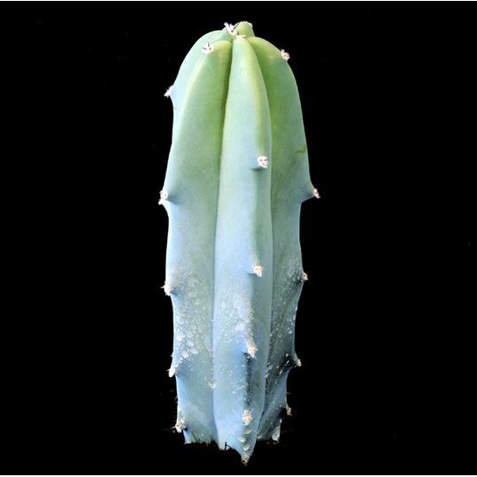 กระบองเพชร ไม้อวบน้ำ แคคตัส cactus succulent seeds เมล็ดพันธุ์ Myrtillocactus geometrizans (ตอบลู)