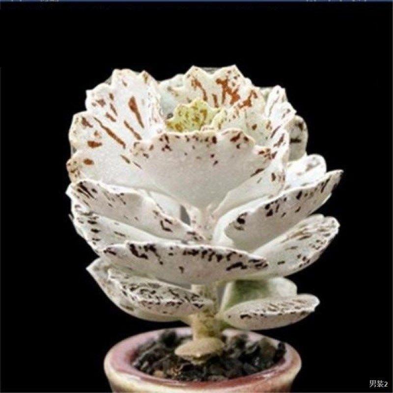 พัดนกสีขาวราคาแพงนำเข้า ไม้อวบน้ำ กระถาง Ji Gong นกสีดำ พัดลม ดอกไม้ พืชสีเขียว บอนไซจิ๋วจิ๋วเนื้อๆ