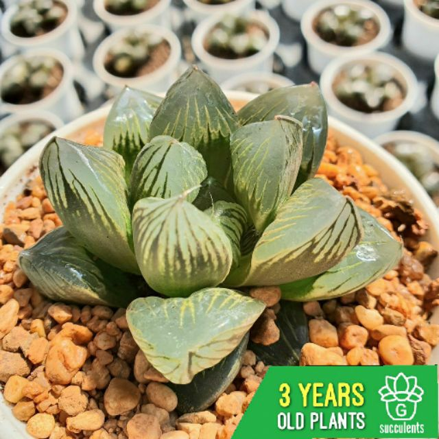 Haworthia Kyoshinhei G Succulents กุหลาบหินนำเข้า ไม้อวบน้ำ