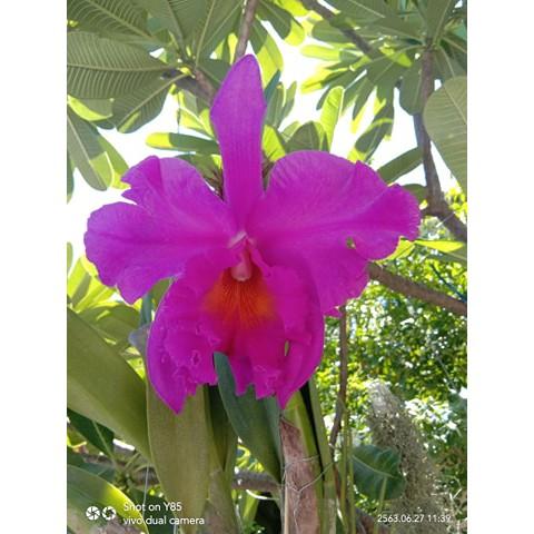 (0n Sale)∈กล้วยไม้ แคทลียาไม้นิ้ว Cattleya แคทลียาไม้นิ้วพิงค์เอ็มเพลส ต้นเล็ก สีม่วงชมพู ดอกขนาดใหญ่ มีกลิ่นหอม ขนาดกระ