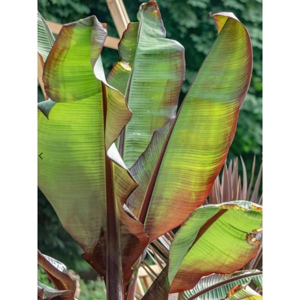 Ensete maurelii กล้วยเอสเซเต้แดง เมล็ดกล้วยเอสเซเต้ กล้วยเอสเซเต้ Enset กล้วยเอสเซนเต้