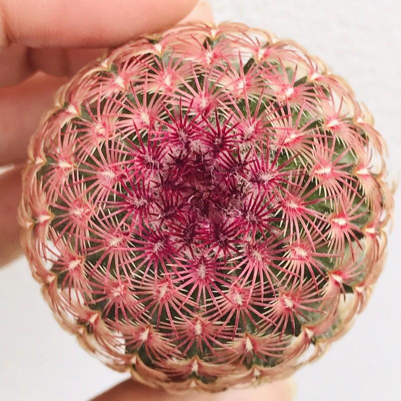 Rainbow Cactus เรนโบว์ (cactus/แคคตัส/กระบองเพชร/ตะบองเพชร/ต้นไม้)