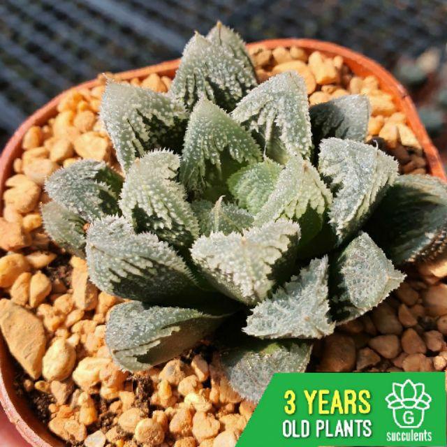 (ไม่มีราก) Haworthia Hakuteijo G Succulents กุหลาบหินนำเข้า ไม้อวบน้ำ