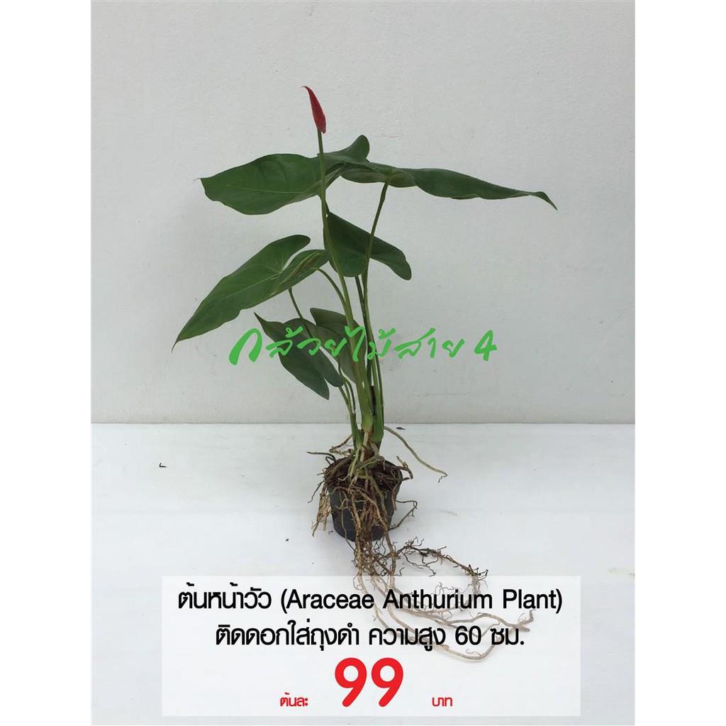 ต้นหน้าวัว ใบติดดอก ใส่ถุงดำ ความสูง 60 ซม. (Araceae Anthurium Plant)