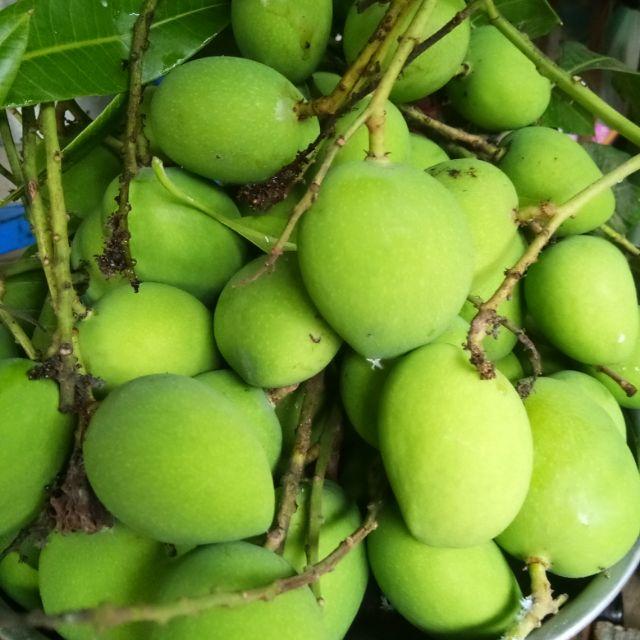 มะม่วงเบา สด จาก สวน จ.กระบี่ กิโลกรัมละ 120 บาท