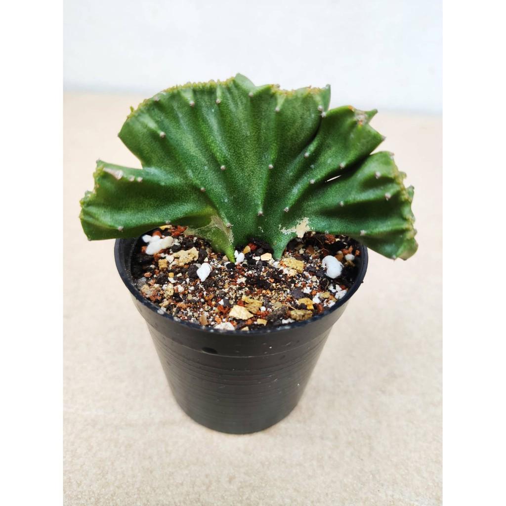 ไม้อวบน้ำ ยูโฟร์เบีย แลคเทีย คริสตาตา Euphorbia lactea cristata