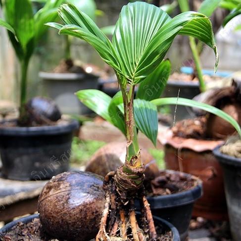 ต้นมะพร้าวน้ำหอมทรงบอนไซ มะพร้าวแคระ ลำต้นสูง 30-45ซม จัดส่งพร้อมกระถาง 8 นิ้ว