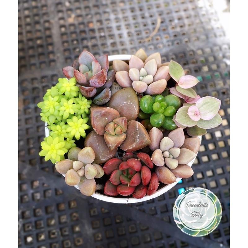 กุหลาบหิน ไม้อวบน้ำจัดเซตคละสายพันธุ์ Mix succulent