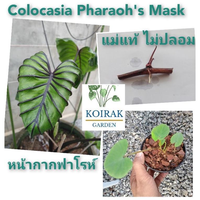 Colocasia Pharaoh's Mask หน้ากากฟาโรห์ ไหลฟาโรห์