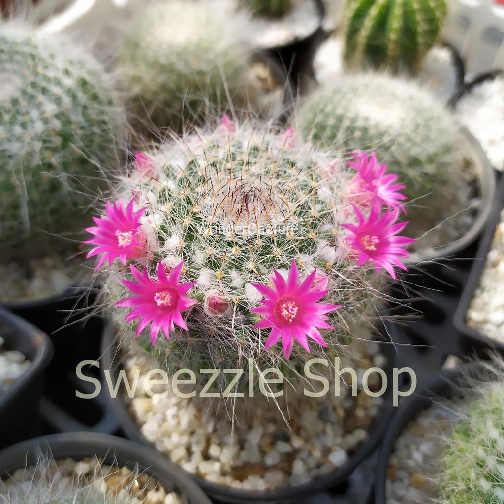 กระบองเพชร (Cactus) แมมแม่เฒ่า หรือ แมมมิลลาเรีย ฮาเนียน่า (Mammillaria Hahniana) ลูกผสมซุปเปอร์บาร์