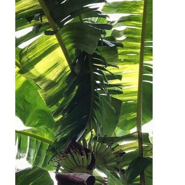 หน่อกล้วยน้ำว้าเขียวจากแม่ด่าง