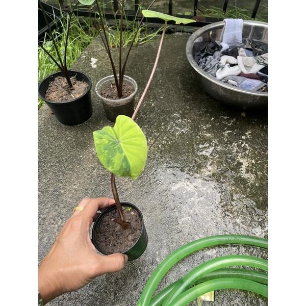 Colocasia lemon lime Gecko