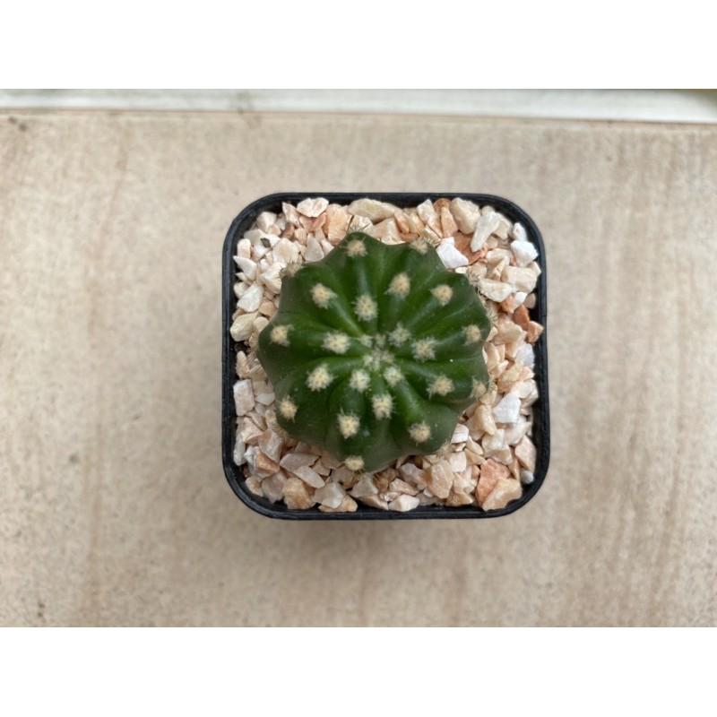 Echinopsis cactus หรือ Domino cactus