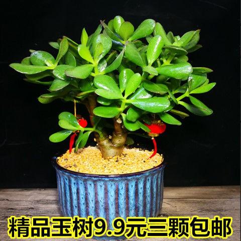 ไม้กระถาง♠♛❧Yushu กระถางต้นกล้า, กองเก่า, ใบใหญ่, ดอกยูคาลิปตัส, ต้นไม้, พืชอวบน้ำ, ห้องนั่งเล่นในร่ม, ต้นไม้สีเขียว, ด