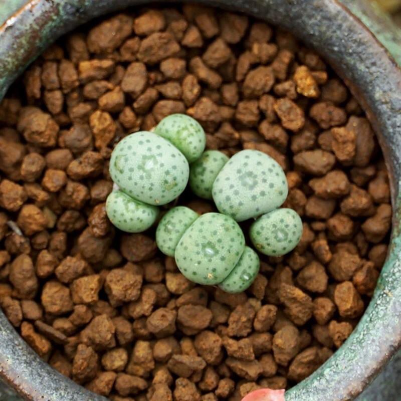 Conophytum ไม้อวบน้ำจิ๋ว