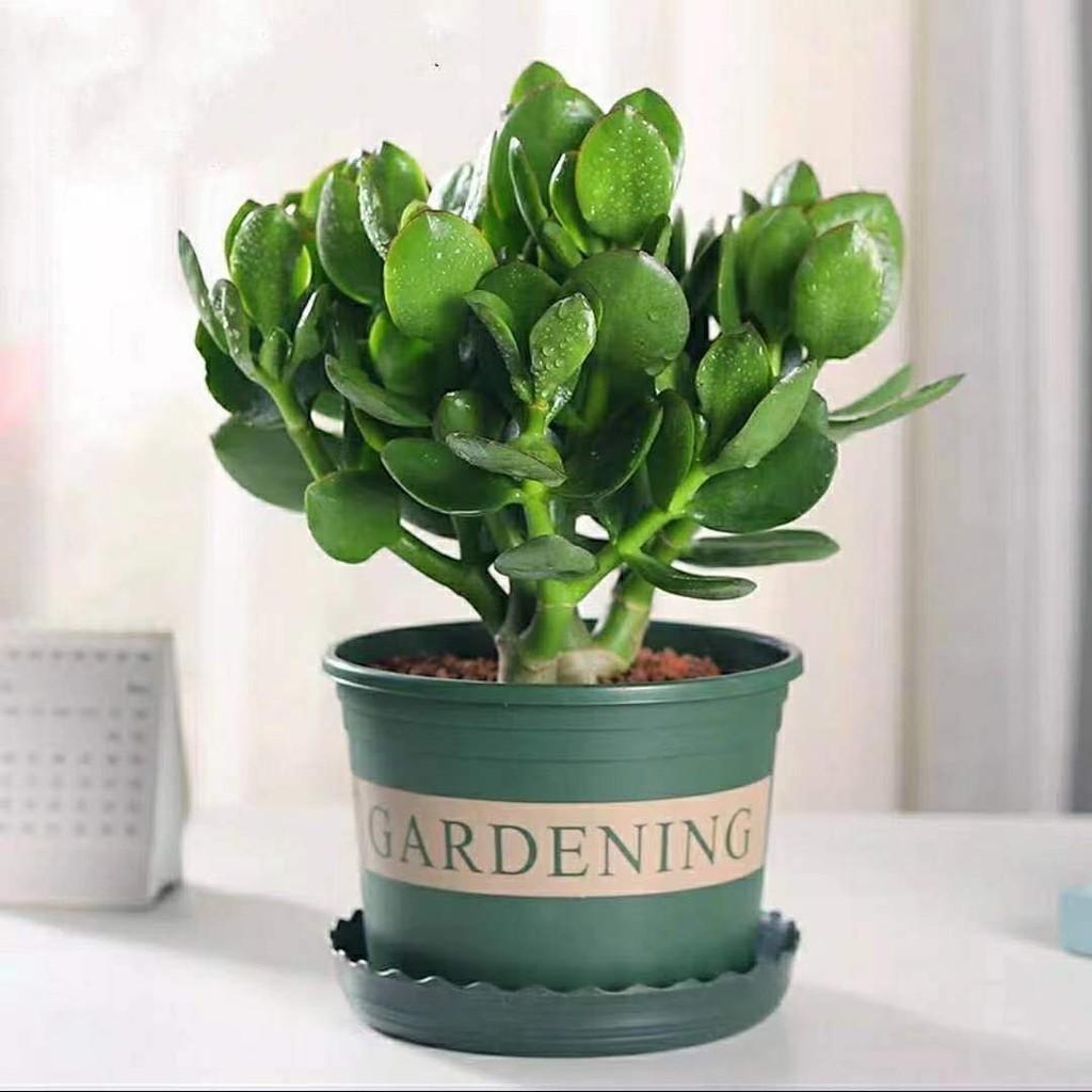 ไม้กระถางﺴYushu กระถางต้นกล้า, กองเก่า, ใบใหญ่, ดอกยูคาลิปตัส, ต้นไม้, พืชอวบน้ำ, ห้องนั่งเล่นในร่ม, ต้นไม้สีเขียว, ดอก
