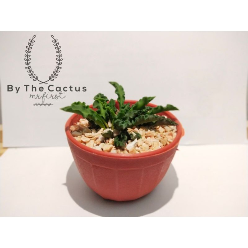 ต้น Euphorbia decaryi หรือ ไดโนเสาร์ใบหยัก (By the cactus)