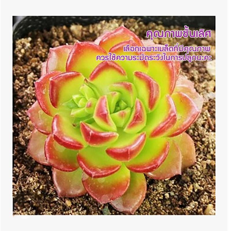 พืชอวบน้ำ succulents เมล็ดไม้อวบน้ำ สำหรับสวน เพาะปลูกง่ายดาย ความบริสุทธิ์เมล็ดพันธุ์55% อัตราการงอก80%