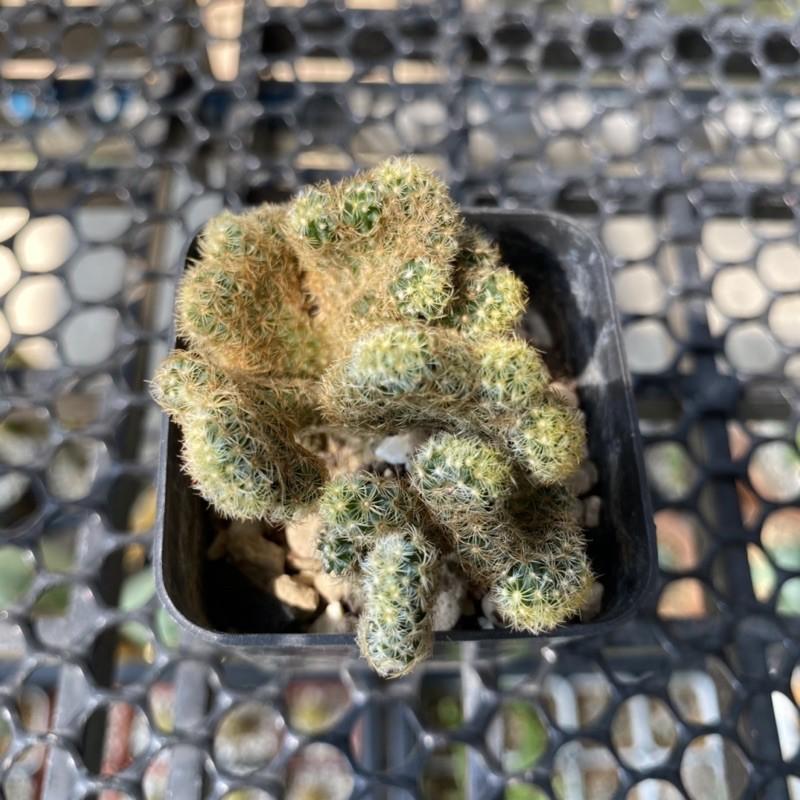 แคคตัส mammillaria cristata ไม้อวบน้ำ ไม้ทนแล้ง