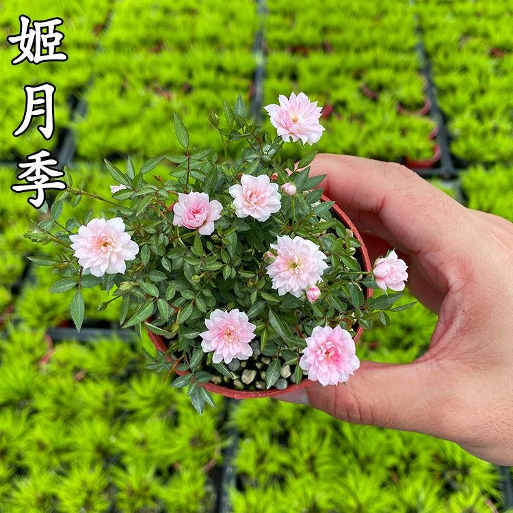 [พร้อมส่ง] พืชบราซิล ไฮโดรโปนิกส์ ไม้กระถาง ดอกไม้ และไม้อวบน้ำ  ☎▼♙>ฮิเมะกุหลาบจิ๋วบอนไซขนาดเล็กดอกไม้สี่ฤดูกาลบนระเบีย