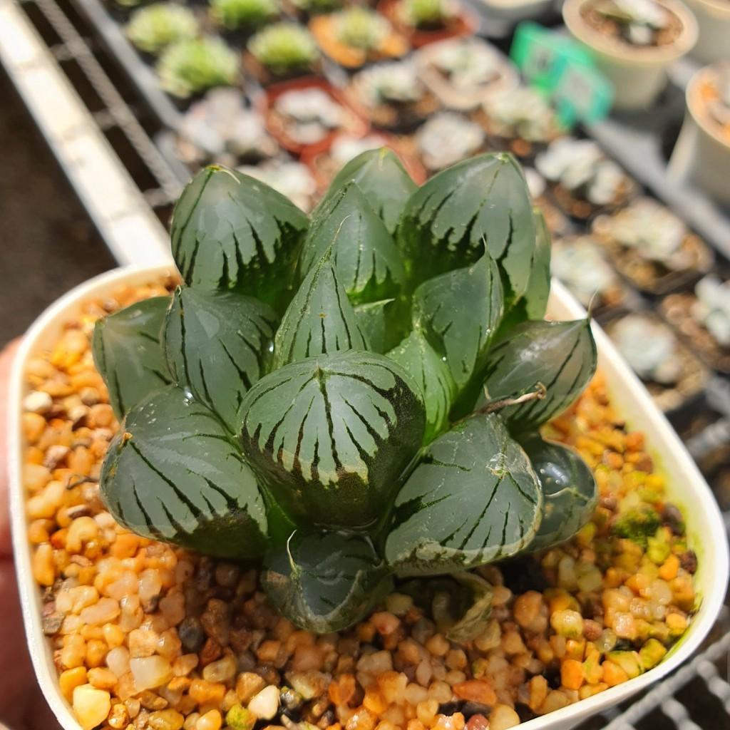 Haworthia Obtusa 'Suisho' G succulents กุหลาบหินนำเข้า ไม้อวบน้ำ