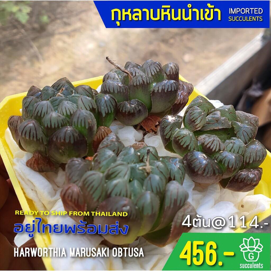 New Arrival สินค้าใหม่ พึ่งนำเข้า Haworthia Marusaki Obtusa  succulents 2U กุหลาบหินนำเข้า ไม้อวบน้ำ
