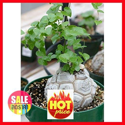 ✤❀☜SALE !!ราคาพิเศษสุดๆ ## เมล็ดพืชอวบน้ำ ไม้อวบน้ำ Testudinaria Dioscorea elephantipes (5 seeds) ##เมล็ด ต้นไม้และเมล็