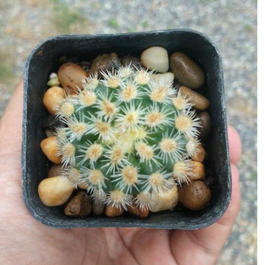 แคคตัส (Cactus) สวยๆ