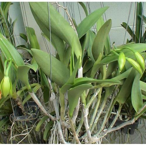 """ต้นกล้วยไม้ แคทลียา (Cattleya)"""" ราชินีแห่งกล้วยไม้ ฉงกู่สวอน ไม้พร้อมให้ดอก ดอกใหญ่พิเศษ ดอกหอม ออกดอกตลอด เลี้ยงง่าย จั"""