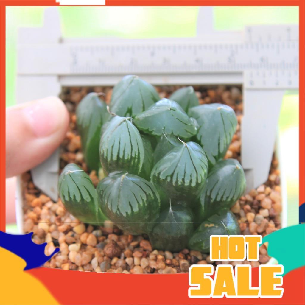 ยิมโนด่าง กระบองเพชร แคคตัส Haworthia Obtusa 'Suisho' G succulents กุหลาบหินนำเข้า ไม้อวบน้ำ