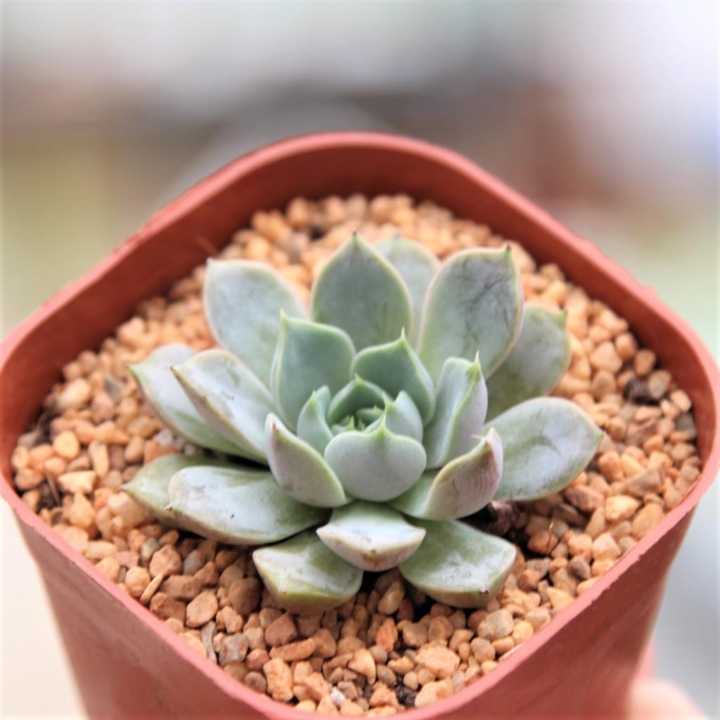 Echeveria Roman กุหลาบหินนำเข้า ไม้อวบน้ำ Live Succulents Plant