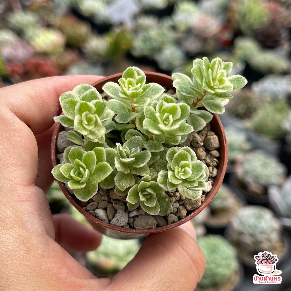 Sedum Makinoi Variegata ไม้อวบน้ำ กุหลาบหิน Cactus&Succulent