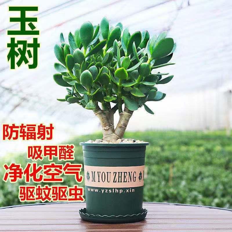 ไม้กระถาง◑℗Yushu กระถางต้นกล้า, กองเก่า, ใบใหญ่, ดอกยูคาลิปตัส, ต้นไม้, พืชอวบน้ำ, ห้องนั่งเล่นในร่ม, ต้นไม้สีเขียว, ดอ