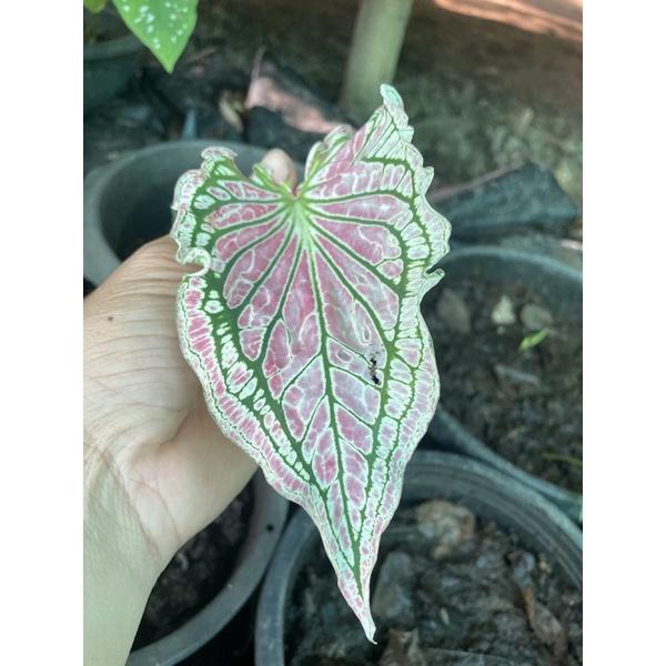 ต้น บอนสี ฮกหลง ผ่าหัว