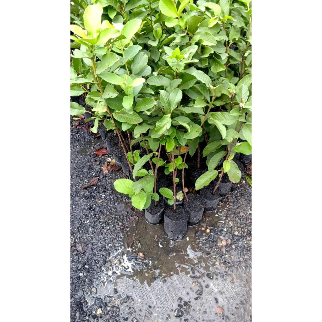 ต้นฝรั่งกิมจู ต้นพันธุ์แบบตอนกิ่งลงถุงดำ สูง 70 cm
