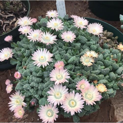 [เมล็ดไม้อวบน้ำ] Aloinopsis luckhoffii pale pink flower