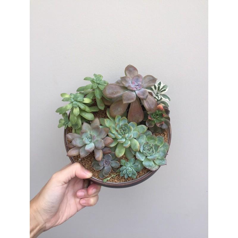 ไม้อวบน้ำ succulent /แคคตัส